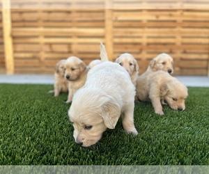 Golden Retriever Puppy for sale in LONG BEACH, CA, USA