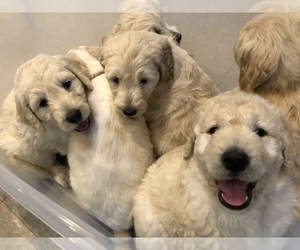Goldendoodle-Poodle (Standard) Mix Puppy for Sale in BATON ROUGE, Louisiana USA