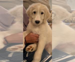 Goldendoodle-Poodle (Standard) Mix Puppy for Sale in HOGANSVILLE, Georgia USA