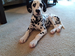 View Ad Dalmatian Puppy For Sale Near New Jersey Bayonne Usa Adn