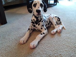 Dalmatian Puppy For Sale in BAYONNE, NJ