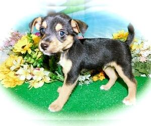 Yorkie Pin Dog for Adoption in HAMMOND, Indiana USA