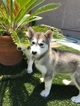 Alusky Puppy For Sale near 92081, Vista, CA, USA