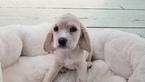 Cocker Spaniel Puppy For Sale in LA MIRADA, CA,