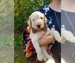 Small #26 Goldendoodle