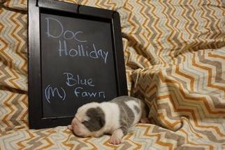 Olde English Bulldogge Puppy For Sale in FAIRVIEW, SD