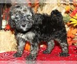 Small #1 Bernedoodle-Poodle (Miniature) Mix