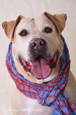 Neo - Labrador Retriever / American Bulldog / Mixed Dog For Adoption