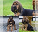 Akc registered Bloodhounds