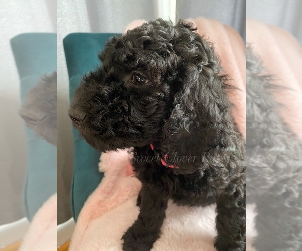 Medium Photo #3 Sheepadoodle Puppy For Sale in DUNCAN, OK, USA