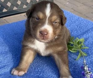 Australian Shepherd Puppy for Sale in SURPRISE, Arizona USA