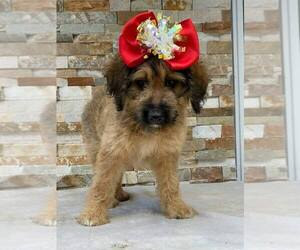 F2 Aussiedoodle Puppy for sale in KISSIMMEE, FL, USA