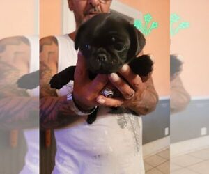 Pug Puppy for sale in LAKE WACCAMAW, NC, USA