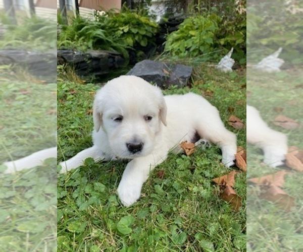 Medium Photo #28 English Cream Golden Retriever Puppy For Sale in ARCHBALD, PA, USA