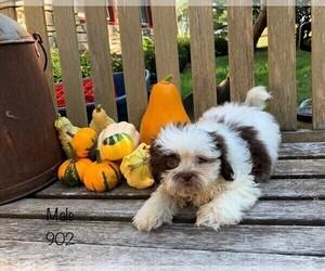 Shih Tzu Puppy for Sale in CLARE, Illinois USA