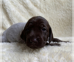 Puppy 1 German Shorthaired Pointer