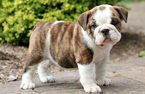 Two English Bulldog Puppies Looking For New Home