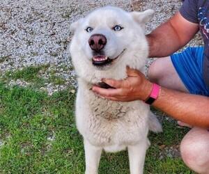 Siberian Husky Dog for Adoption in ELLENDALE, Minnesota USA
