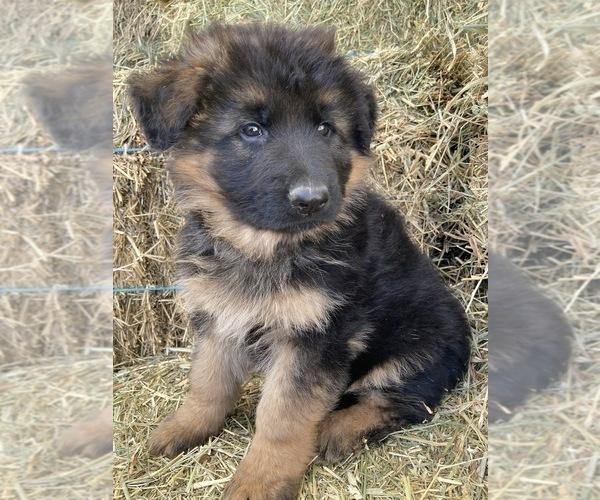 Medium Photo #3 German Shepherd Dog Puppy For Sale in WALLA WALLA, WA, USA