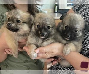 Pomeranian Puppy for Sale in NIXA, Missouri USA