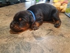 Doberman Pinscher Puppy For Sale in HIGH SPRINGS, FL, USA