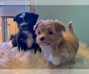 Morkie Puppy for sale in ATHENS, TX, USA