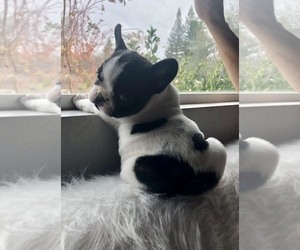 French Bulldog Puppy for Sale in ORANGEVALE, California USA