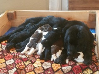 Mother of the Newfoundland puppies born on 09/11/2018