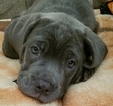 Cane Corso Puppy For Sale in CONSHOHOCKEN, PA, USA