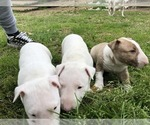 Small Bull Terrier