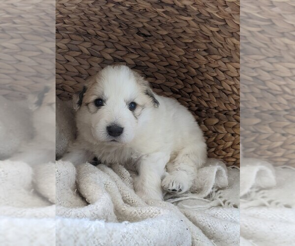Medium Photo #75 Great Pyrenees Puppy For Sale in FALCON, CO, USA