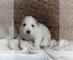 Small #74 Great Pyrenees