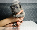 Small Photo #5 French Bulldog Puppy For Sale in GRAHAM, WA, USA