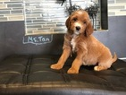 Irish Doodle Puppy For Sale in WILLIAMSTOWN, KY, USA