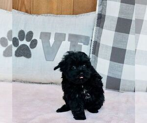 YorkiePoo Puppy for Sale in WARSAW, Indiana USA