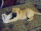 Anatolian Shepherd Puppy For Sale in SEAMAN, Ohio,