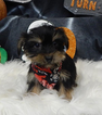 Yorkshire Terrier Puppy For Sale in CHICAGO, IL,