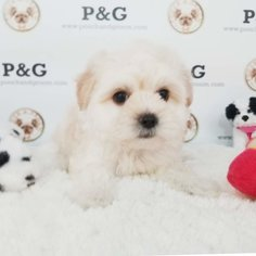 Morkie Puppy for sale in TEMPLE CITY, CA, USA
