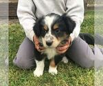 Small Australian Shepherd