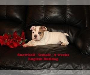 English Bulldog Puppy for sale in CLARKRANGE, TN, USA