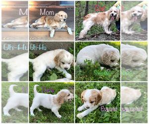Cocker Spaniel-Golden Cocker Retriever Mix Puppy for sale in LEASBURG, MO, USA
