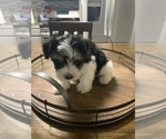 Small #9 Morkie