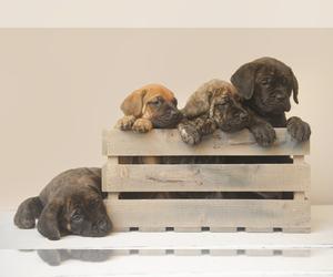 Mastiff Puppy for sale in METAMORA, MI, USA