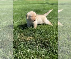 Labrador Retriever Puppy for sale in QUINCY, WA, USA