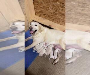 Labrador Retriever Dog for Adoption in CAMPTON, Kentucky USA