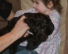 Goldendoodle Puppy For Sale in ELKO NEW MARKET, MN