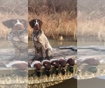 Small #3 German Wirehaired Pointer