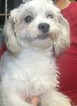 Maltichon Puppy For Sale in PATERSON, NJ