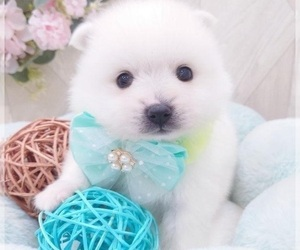 Japanese Spitz Puppy for sale in CHICAGO, IL, USA