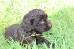 Boykin Spaniel Puppy For Sale in HAZLEHURST, GA, USA